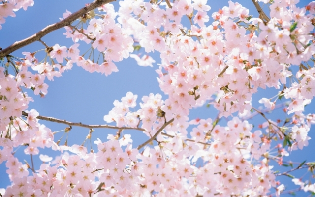 Cherry-Blossom-Tree_tn2